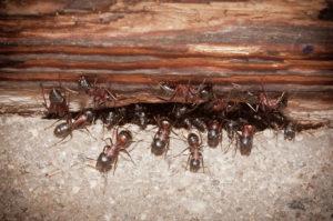 disinfestazione formiche milano