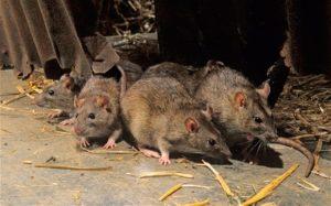 Disinfestazione topi e ratti a Milano